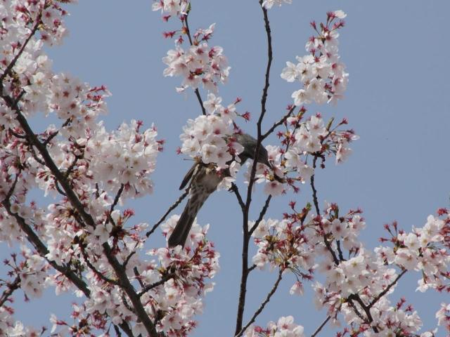 B20160409B_桜と鳥_IMG_3963