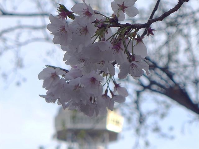 B20160405P_桜_P1110810