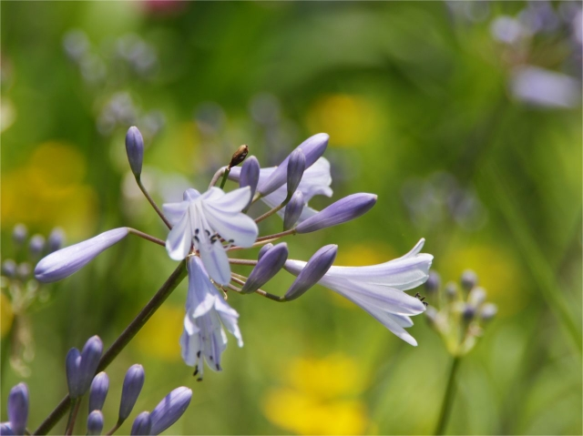B20160618B_紫花1_IMG_5105