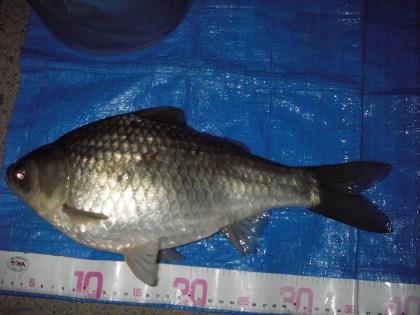 中川 ヘラブナ 38cm ダンゴ