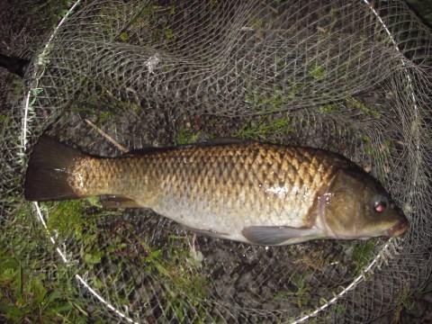 中川 鯉 55cm 両ダンゴ