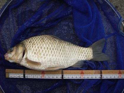 中川 フナ 27cm