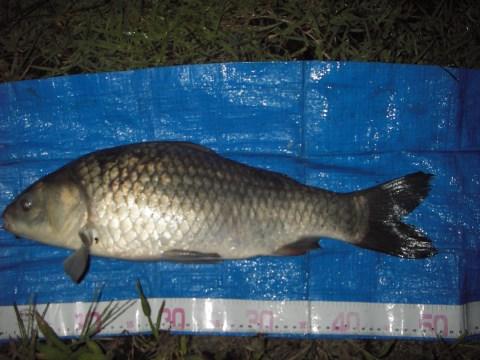 中川 鯉ベラ 50cm グルテンパン粉マッシュ
