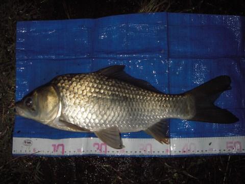 中川 鯉ベラ 51cm ダンゴ
