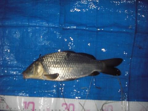 中川 鯉っ子25cmダンゴ