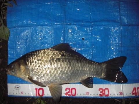 中川 鯉フナ 36cm