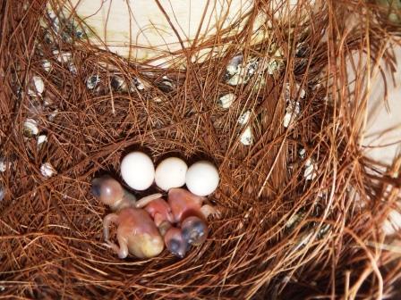 シマコキン3羽孵化