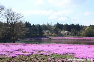 富士芝桜まつり16