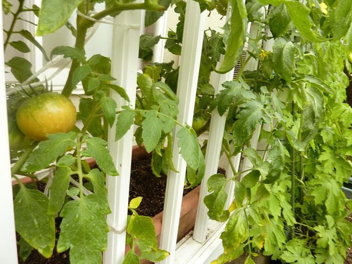トマトも熟れるテラス栽培