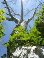ダケカンバの大木