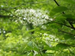 タモノキの花