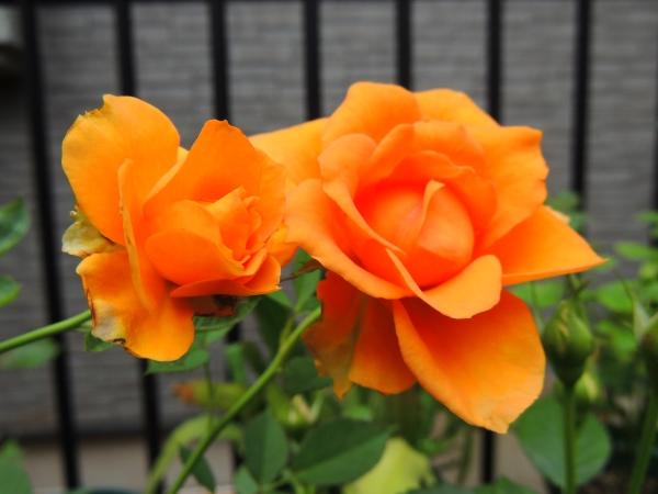 オレンジミニ011