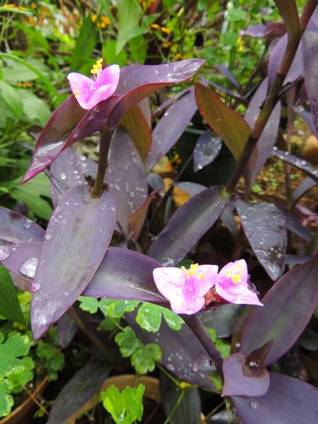 紫御殿の花016