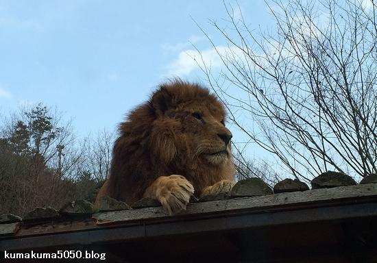 ライオン_1256