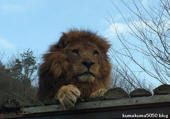 ライオン_1257