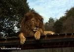 ライオン_1259