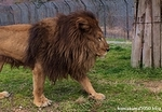 ライオン_1260