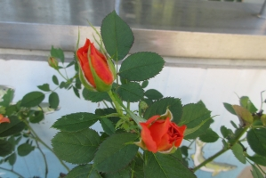 サンパークのバラ