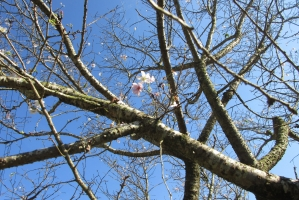 荻野の冬桜