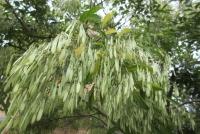 樹の葉と実