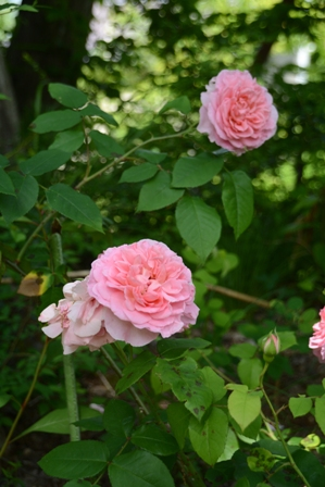 16cottagerose0611_8114.jpg