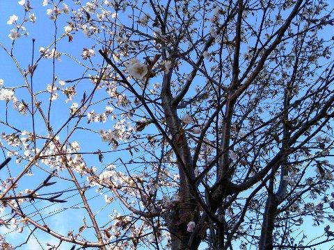 我が家の桜2016