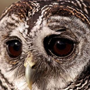 鳥、フクロウ、悲しい、目、フクロウ、目-310x310