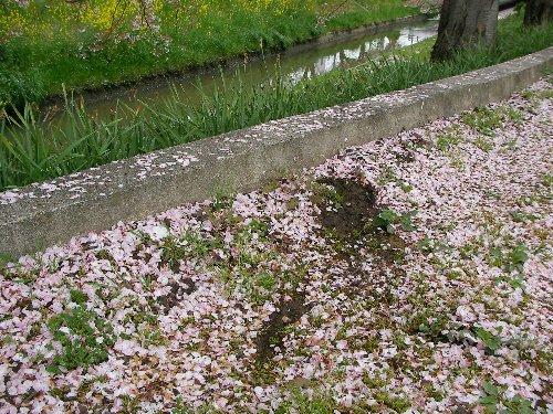 201604081226桜のじゅうたん⑦