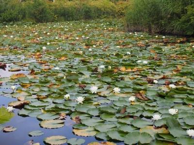 いもり池のひつじ草
