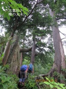 五葉松と檜の大木