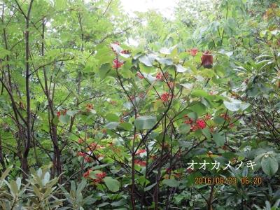 オオカメノ木の赤い実