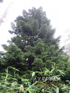 コメツガの林