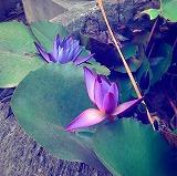 lotusya