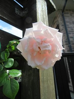 ピンクのつるバラ