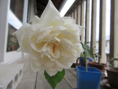 この夏最後の白バラ
