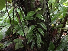 Epipremnum sp Isla Colon Panama