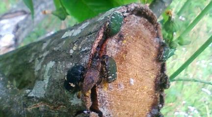 樹液とハナムグリ類