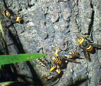 オオスズメバチ集団
