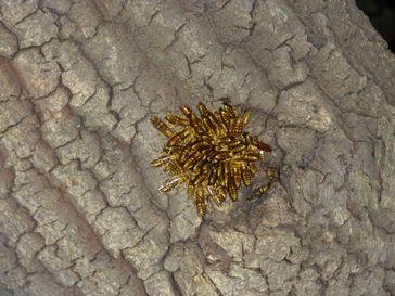 ホソアシナガバチ集団-1