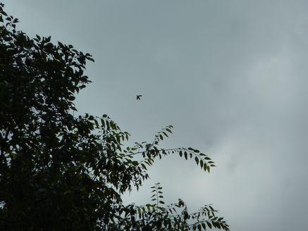 タマムシ飛翔