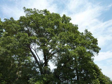 エノキの大木