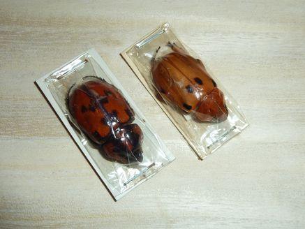 フェア-11スジコガネモドキ