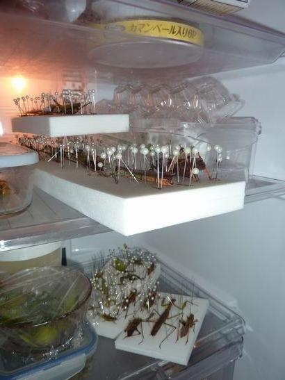 冷蔵庫の虫