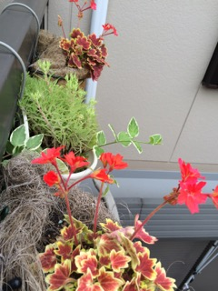 紅葉葉ゼラニウム開花