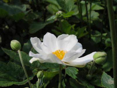 160903秋明菊