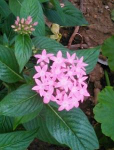 20161025ピンクの花