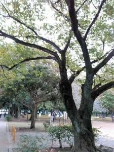 20161025公園の桜の木