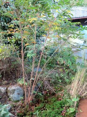 2016_10 18_『かぶれの木』対処・2