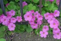 BL161020ピンクの花1IMG_1190