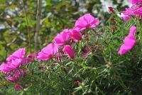 BL161020ピンクの花3IMG_1184